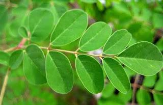 khasiat daun kelor untuk kanker