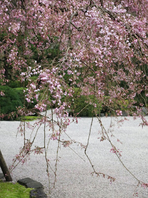 spectacular tree, Portland Japanese garden