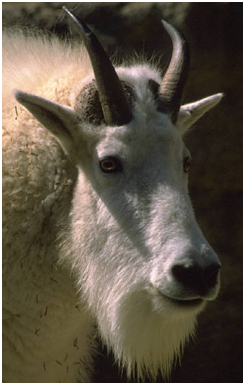 Goat Facts Amazing Facts