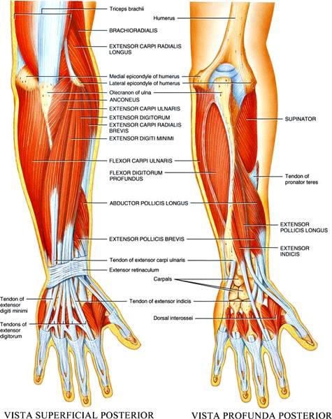 Sistema muscular esquelético humano muñeca