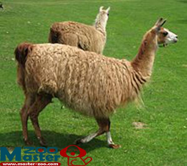 حيوان اللاما وماهى صفاتة Lama glama