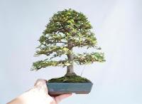 Shohin Bonsai The Art Of Tiny Bonsai Tree Training