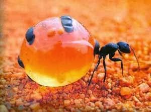 Semut madu