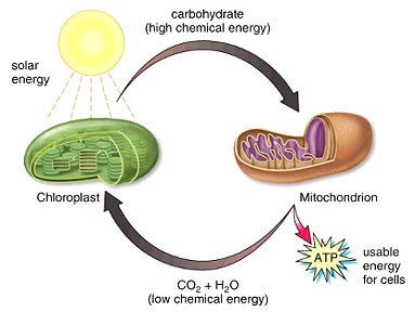 an analysis of the mitochondria and chloroplast in an organic cell This process is carried out in specialized organelles called chloroplasts like mitochondria, chloroplasts atp is the chemical energy currency of the cell.