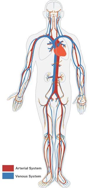 Sirkulasi darah tubuh manusia