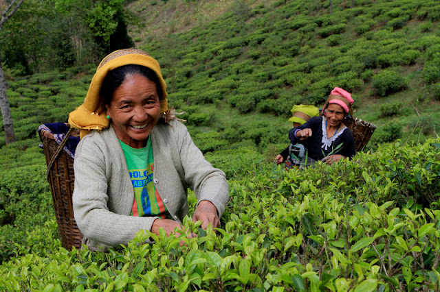 Darjeeling tea workers to get bonus, but how much still unclear