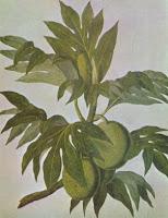 breadfruit illustration