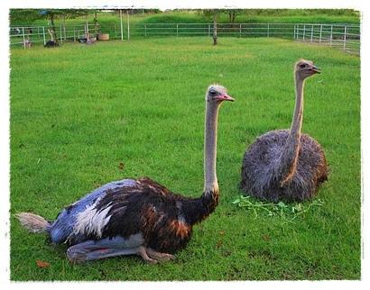 Gambar Burung Unta  Dunia Binatang
