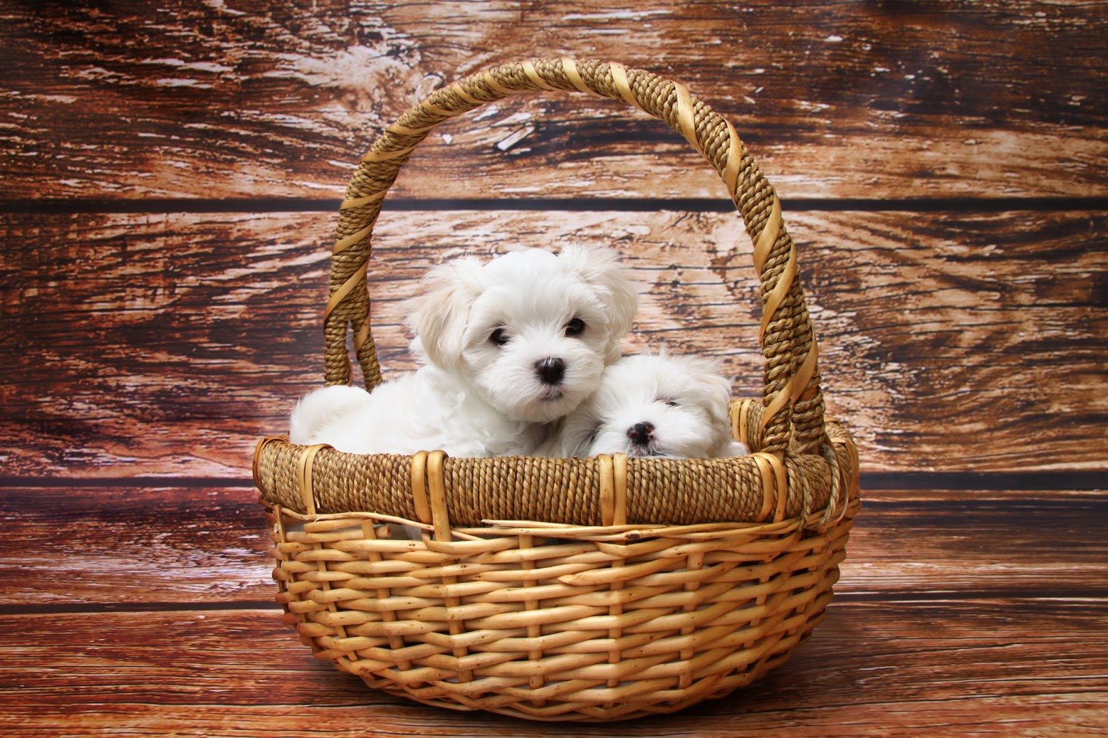 2 Maltese puppies in a basket