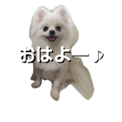 Tweet of little Pomeranian Ciel