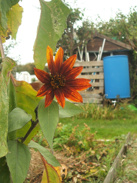 sunflowers add autumn colour to our allotment