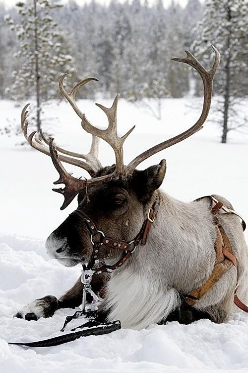 My new pet obsession: a reindeer