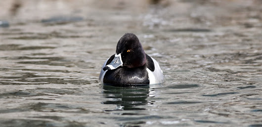 Ring-billed, errr, I mean Ring-NECKED Duck!
