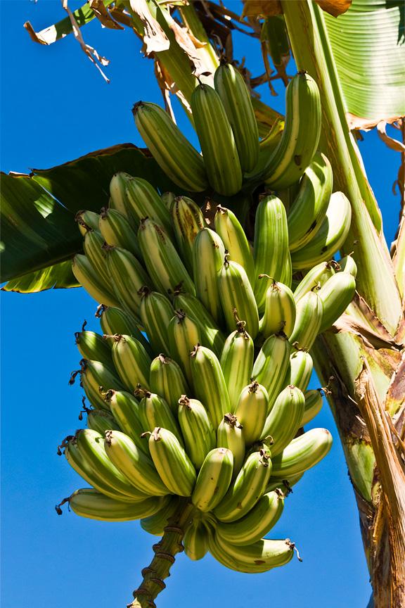 Banana a'ea'e