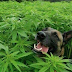 Έχει οφέλη η φαρμακευτική κάνναβη στα ζώα συντροφιάς;
