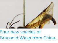 http://sciencythoughts.blogspot.co.uk/2013/11/four-new-species-of-braconid-wasp-from.html