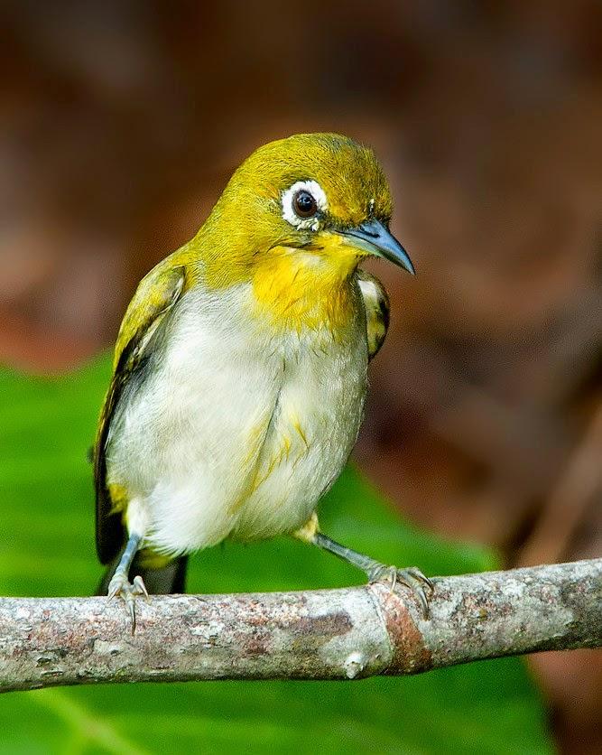 Suara burung pleci auri