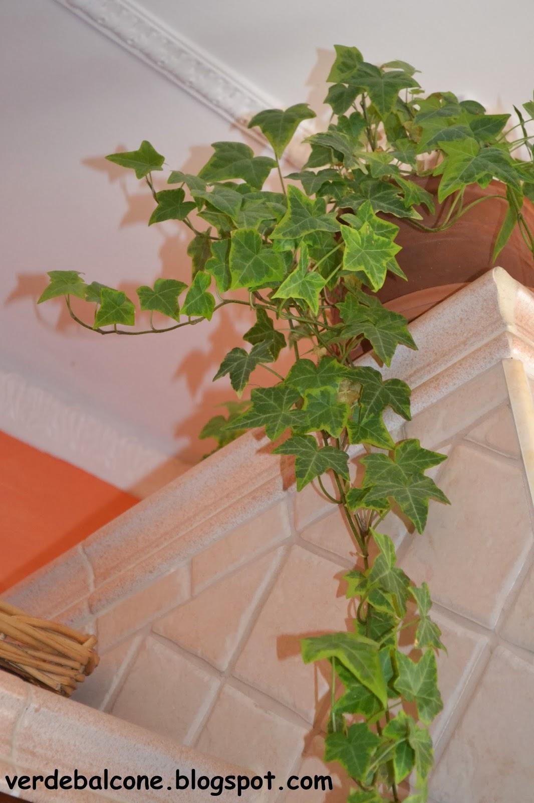 Edera Pianta Da Interno verde balcone.: edera, regina degli interni.