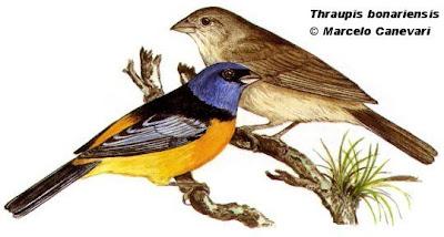 Naranjero Pipraeidea bonariensis