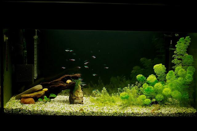 akwarium z neonkami