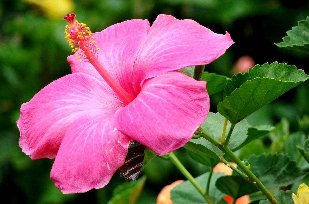 Hibiscus (Bunga Sepatu atau Rosella) Untuk Kesehatan Rambut