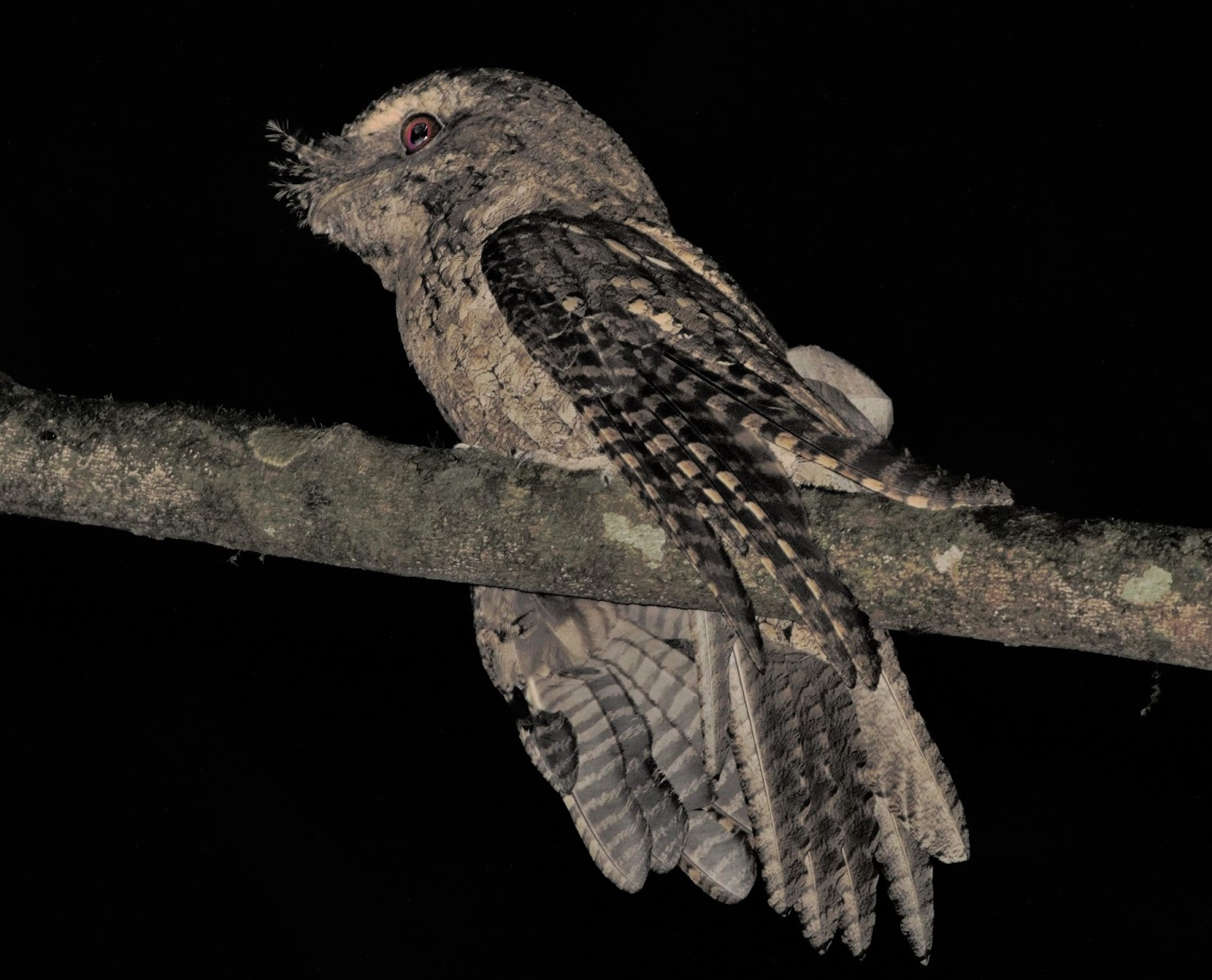 Sunshinecoastbirds Sooty Owl Amp Marbled Frogmouth At Mary