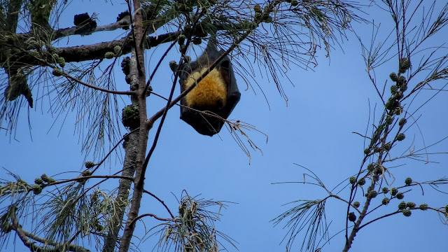 One tree in Tonga with flying foxes
