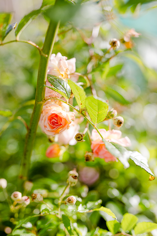 Mein Garten im September, Pomponetti, die letzten Rosen im Herbst, Ghyslaine de Feligonde