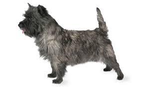 Anjing Ras Cairn Terrier