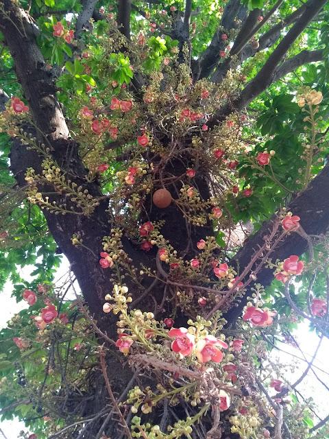 Kailaspati, Lecyhidaceae, Couroupita