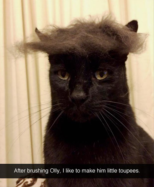 Professor Cat Wonders Why You Are Amused? Olly Cat Toupee - Funny animal hairstyles and hilarious Donald Trump hair memes at the #FridayFrivolity link-up this week!  Join the linky party for all things fun, funny, happy & hopeful!