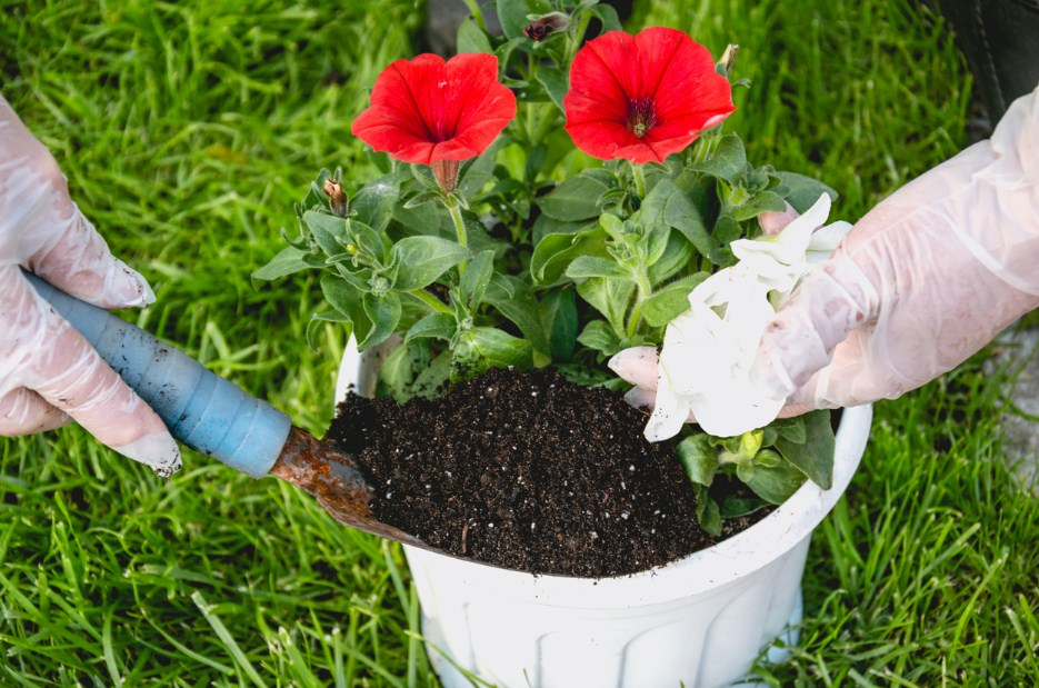 How to Care for Petunias