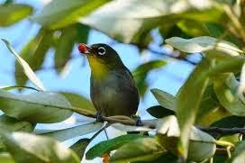Tips Melatih Mental Burung Pleci/ Kacamata