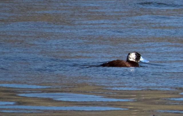 Birds of Patagonia: Ruddy duck with distinctive blue beak
