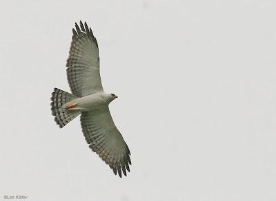 Águila viuda Spizaetus melanoleucus