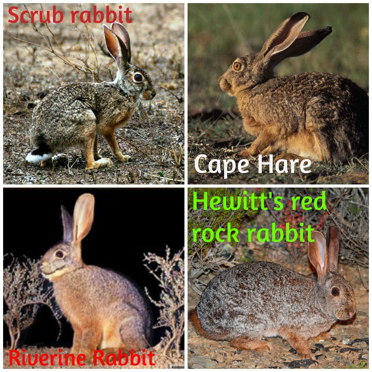 Beauty Of Nature Hares And Rabbits Order Lagomorpha
