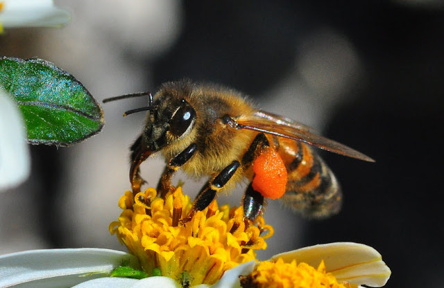 Honey Bee - Facts, information and pictures 1