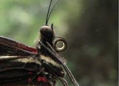 Há ainda as borboletas que, devido ao aparelho bucal atrofiado, simplesmente, não se alimentam na sua fase adulta. Do que elas vivem ? Elas sobrevivem  -  http://mundoanimalevidaselvagem.blogspot.com/