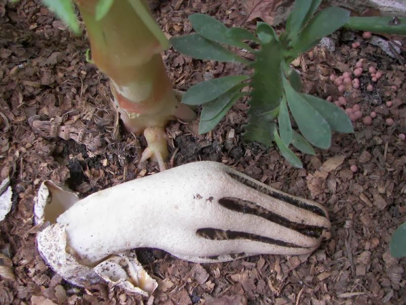 نتيجة بحث الصور عن devils fingers mushroom