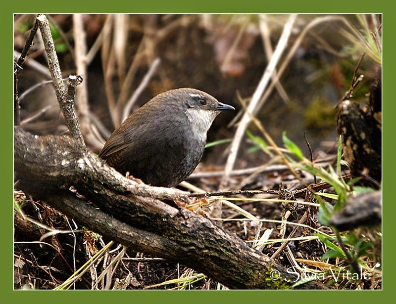Zimmer´s Tapaculo