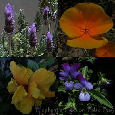 Exotic January flowers lavender, Californian poppy Hibiscus and heartsease