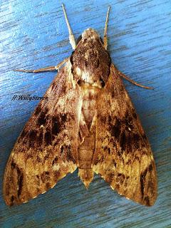 Moth frá Indónesíu