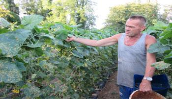 Živkušića krastavci pokazuju da je uzgoj kornišona i na jugu Hercegovine moguć