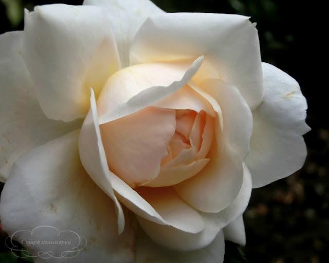 роза крокус, остинки, розы, розарии, сад и розы