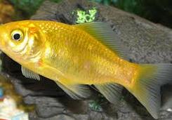 Jenis Ikan Koki Common cantik dan bagus
