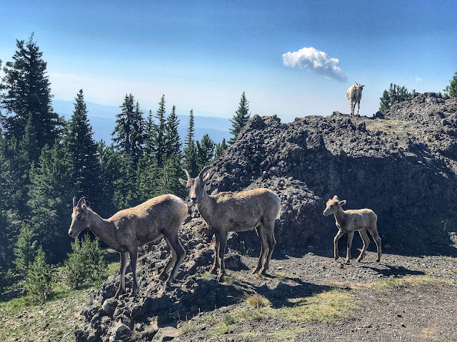 Bighorn sheep at Mt. Washburn