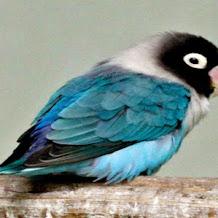 Beberapa Ciri Ciri Penyebab Burung Lovebird Macet Bunyi