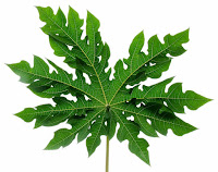 papaya leaf