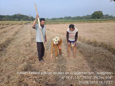 Manfaatkan Tanah Setelah Panen Padi Tanam Kedelai