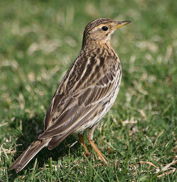 Suara Burung Branjangan Masteran Biar Cepat Gacor
